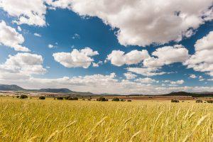 Campo de cereal en los paisajes fronterizos de Ayora con La Mancha, provincia de Valencia.