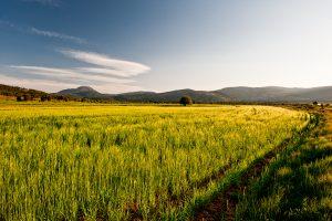 Campo de cereal en el Polje de Vistabella con el Penyagolosa al fondo, provincia de Castellón.