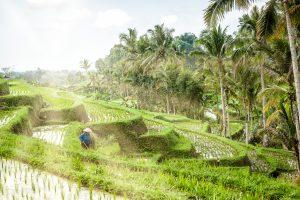 Agricultora en los arrozales de Jatiluwih en Bali, Indonesia (Patrimonio de humanidad UNESCO)