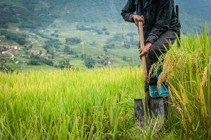 Agricultor en los arrozales del valle de Muong Hoa, Sa Pa (Lào Cai province,Vietnam)